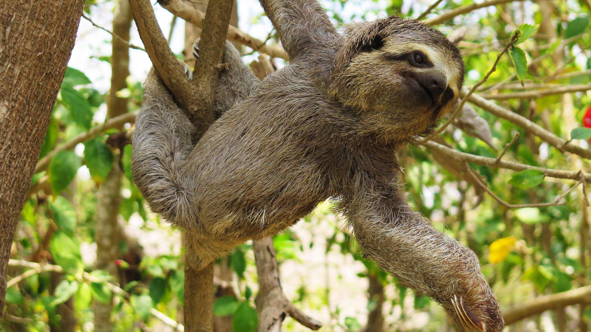 Sloth in Braulio Carillo National Park
