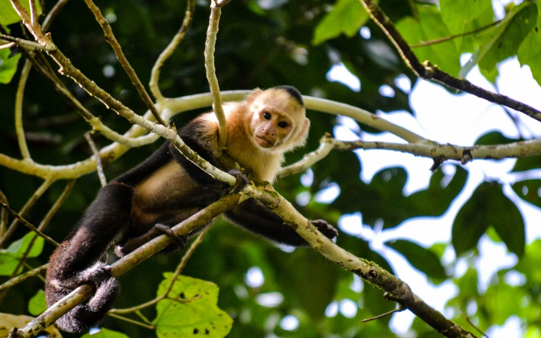 Capucin monkey at Cahuita National Park