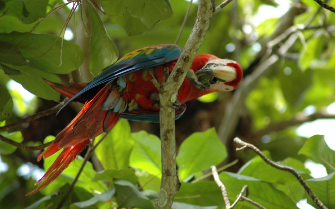 Parrot at Carrara National Park