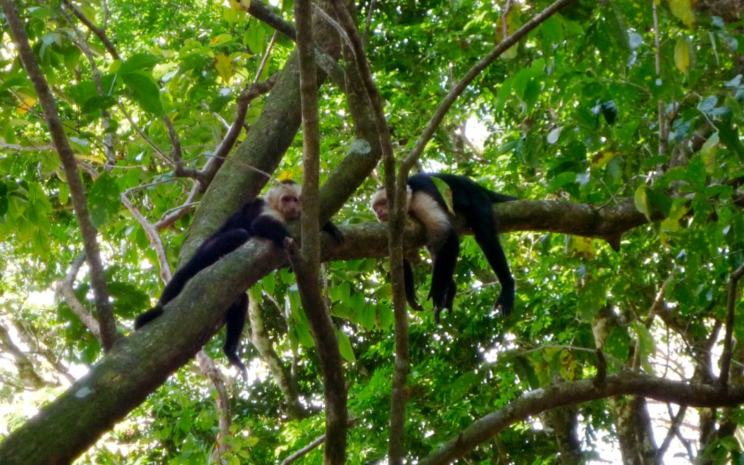 Capucin monkeys at Manuel Antonio National Park