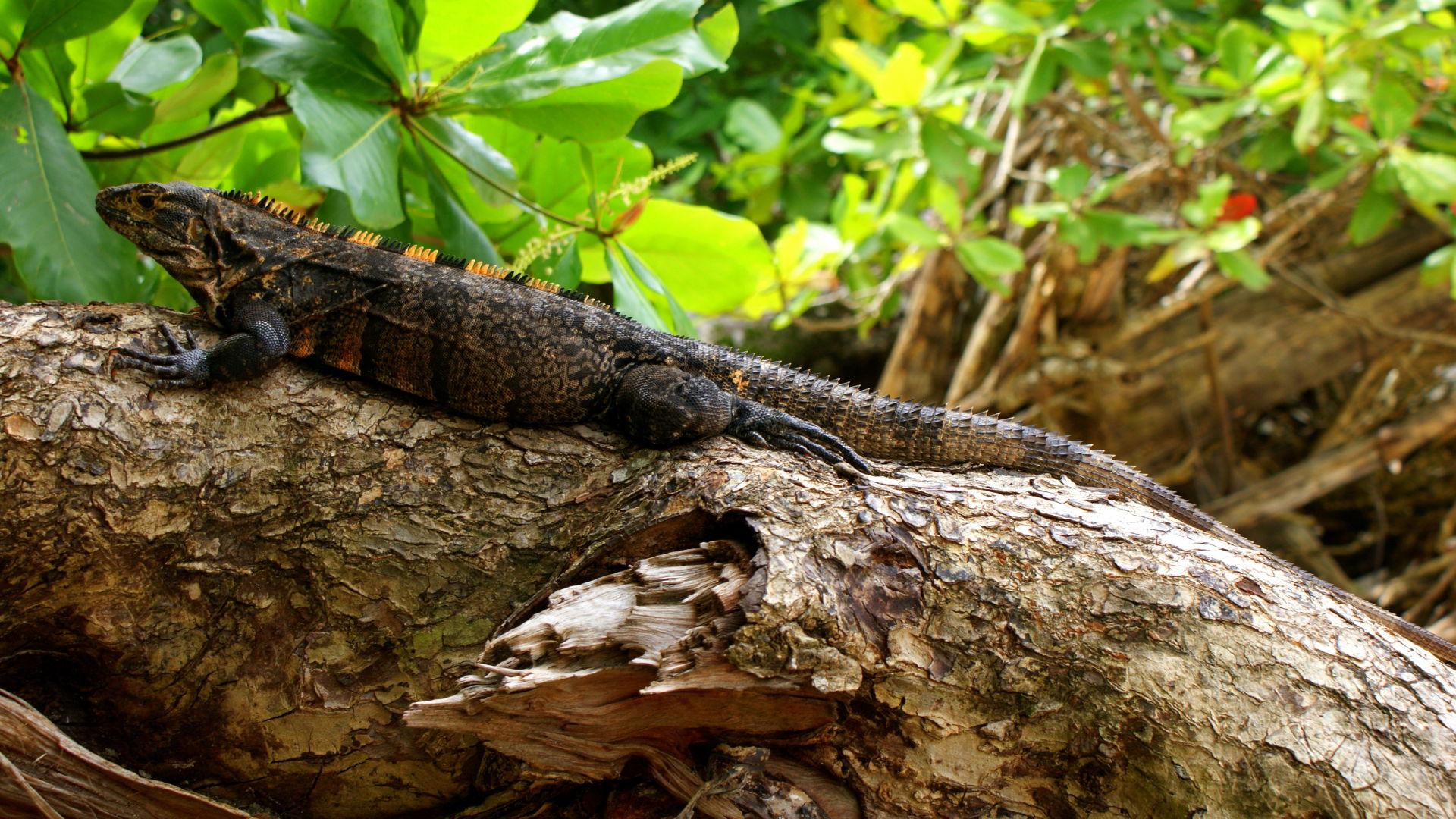 Iguana at Manuel Antonio National Park