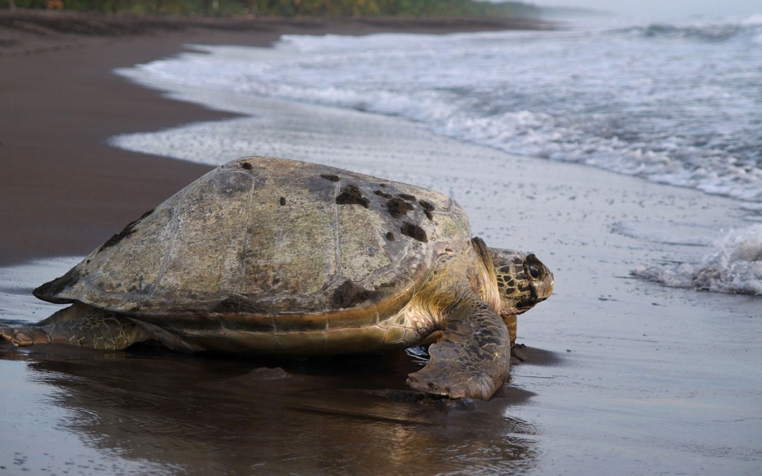 Sea turtle at Tortuguero National Park
