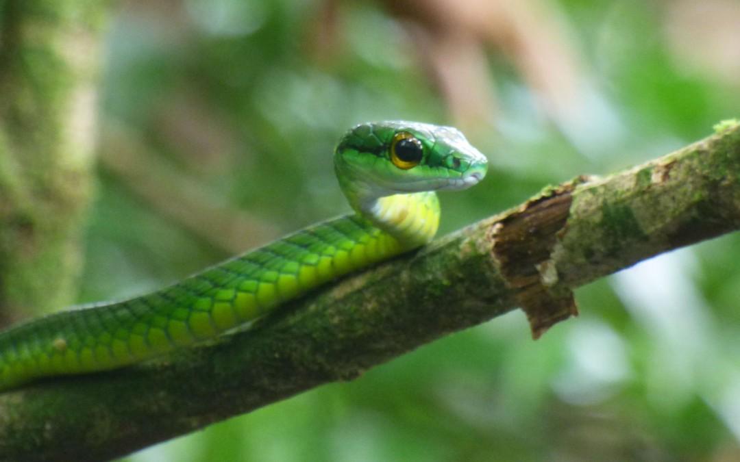Emerald viper at Tortuguero National Park