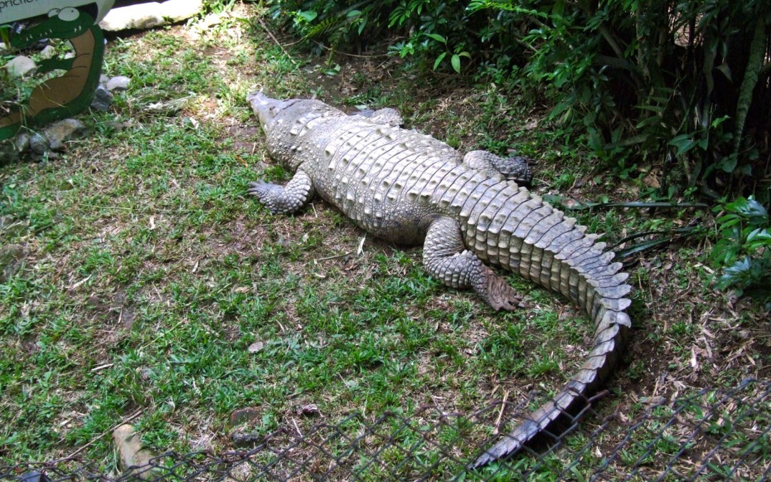 Crocodile in Zoo Ave park
